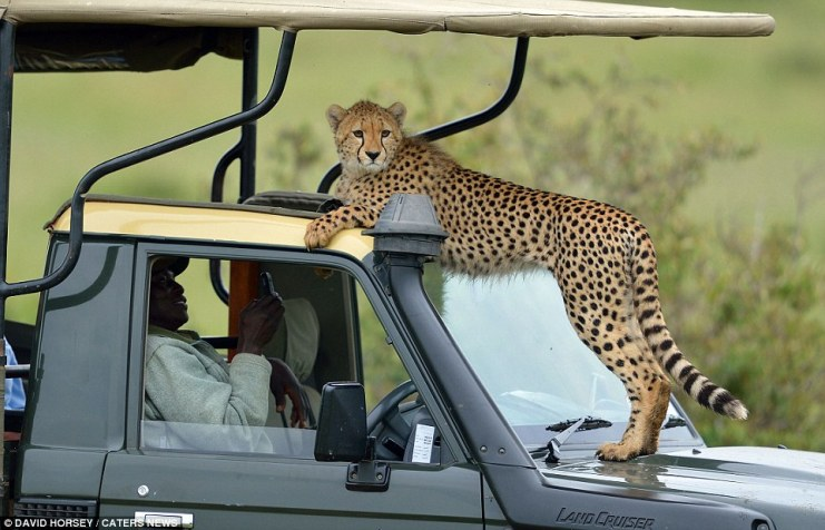 Making himself comfortable: The cheeky cheetah and his family casually lounged atop the group's Land Cruiser jeep