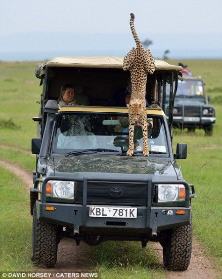 Once the cheetah got bored of staring at Mickey, it turned away and looked out of the vehicle before ultimately jumping out